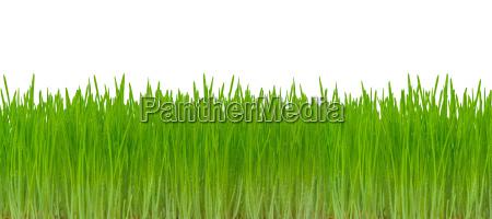 gront graes isoleret pa hvid baggrund