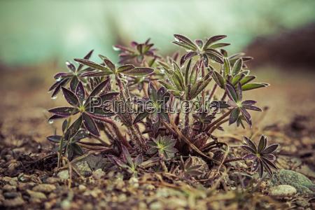 unge lupin planter