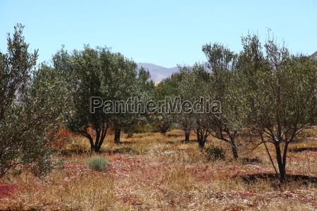 oliven, olive, oliventræ, plante, vækst, planter - 14326547