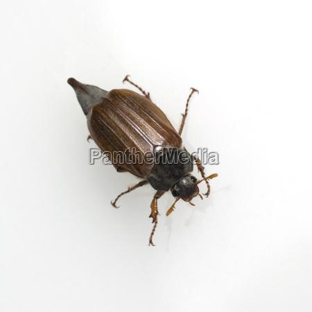 maikaefer melolontha weiblich