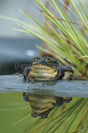 pond frog med flue pa ojet