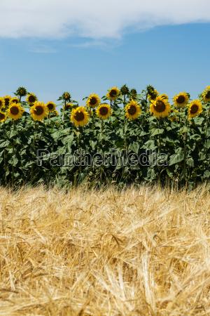 landbrug med solsikker og majs