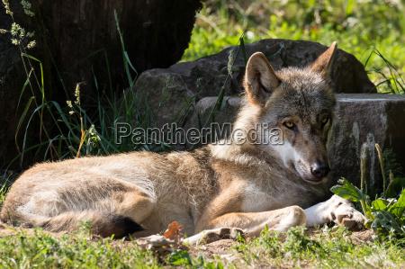 ligge liggende ligger tam traet ulv