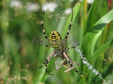 edderkop spinde
