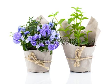 klokkeblomster campanula blomster i papir pakke