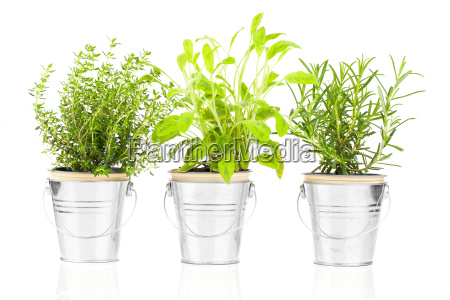 sage timian og rosmarin urt plante