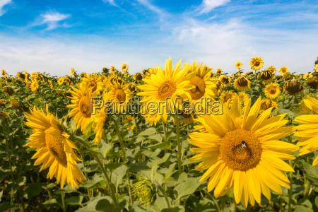 solsikke felt