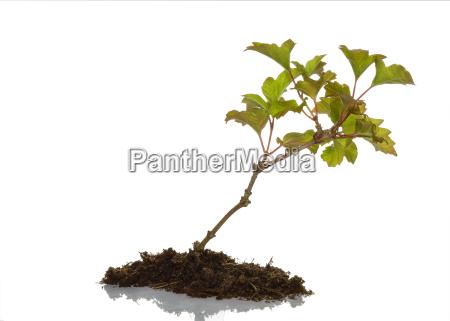 jungpflanze som cut