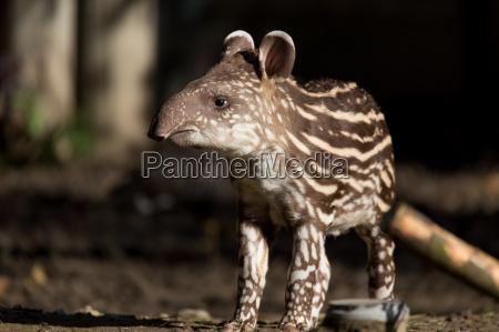 baby des gefaehrdeten flachlandtapir