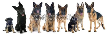 dyr husdyr kaeledyr fire hund hvalp