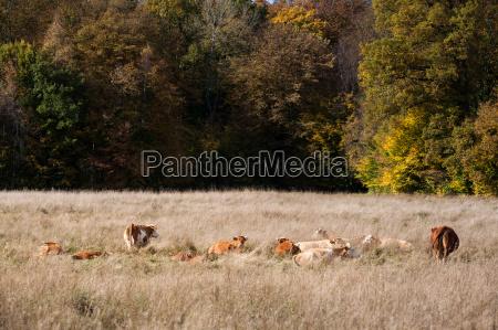 willow med besaetning af koer i