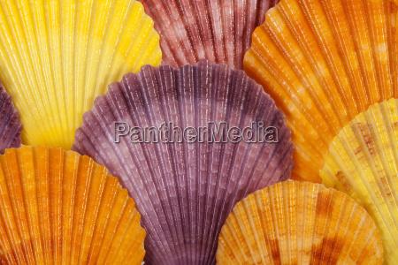 baggrund med farverige muslingeskaller af bloddyr