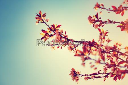 smukke blomstrende tree graense
