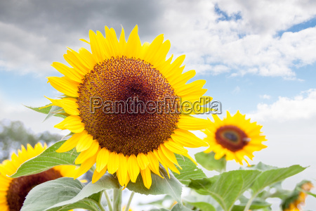 lysegul af en solsikke mod uklar