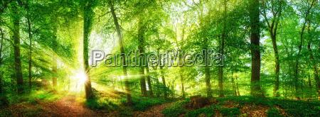 skov panorama med solskins straler der