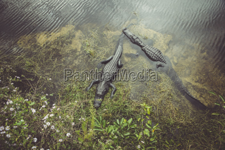 usa florida everglades alligatorer