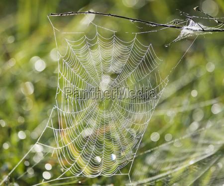 edderkoppespind med vanddraber
