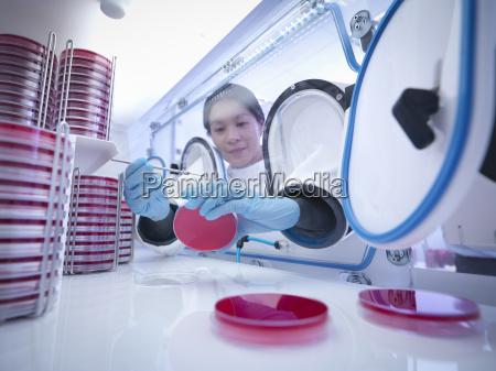 wissenschaftler machen bakterienkultur in agar innerhalb