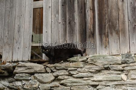black cat old woodshed