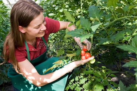 kvinde, omsorg, for, tomatplante - 18312370