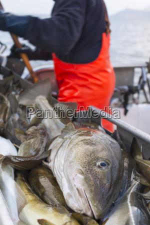 makrooptagelse naerbillede mandlig maskulin viril fisk