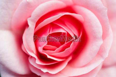 rose bloom close up