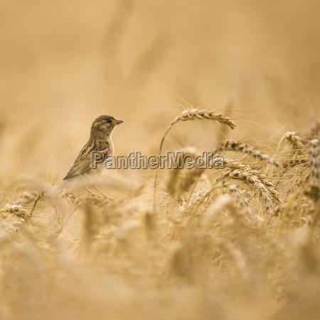 kvinde house sparrow passer domesticus i