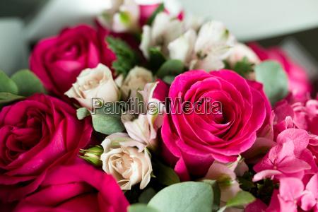 blod farve roser