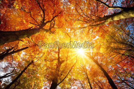 forest with beech in autumn the
