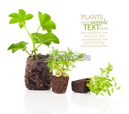 blomst plante vaekst rod sla rod