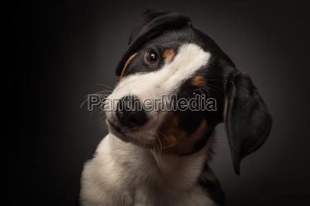 appenzeller sennenhund i portraet