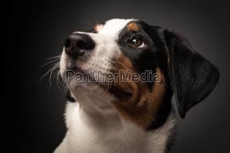 husdyr kaeledyr hund hvalp