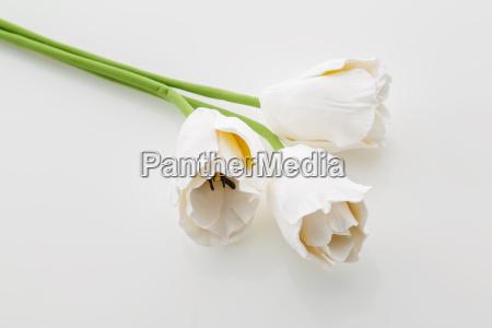 smukke hvide tulipan blomster