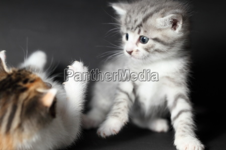 two cats play