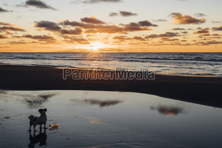danmark, nordjylland, hund, på, rolig, strand, ved, solnedgang - 20217501