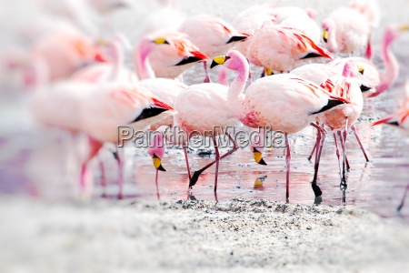 flamingos pa so i andesbjergene den