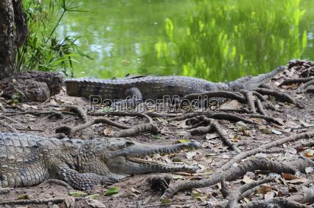 tur rejse miljo farve dyr krokodille