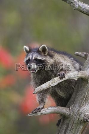 raccoon racoon procyon lotor i et