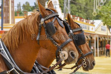 kultur farve hest brun messe udstilling