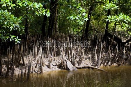 mangrove skud vokser i vandkanten af