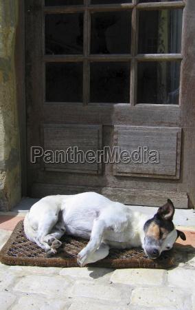 afstamning jack russell terrier med en