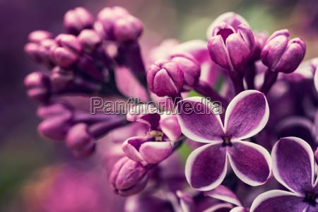 lilla lilla blomster forar blomstre