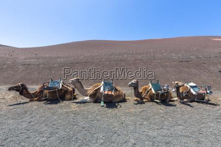 spanien lanzarote dromedar caravan i timanfaya