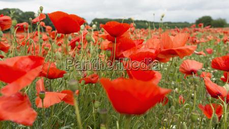 tyskland field of red poppy flowers