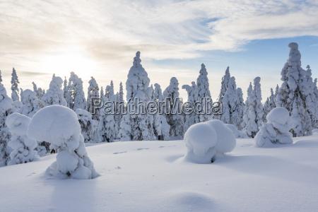 escandinavia finlandia rovaniemi bosque arboles en