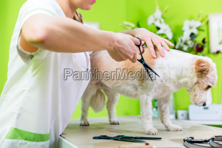 little dog being furdressed ny woman