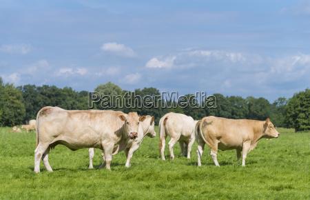 brown cows in meadow
