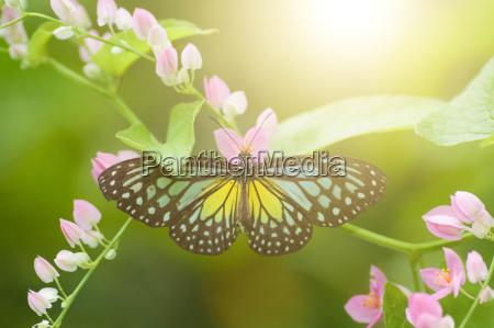 butterfly gul glasagtig tiger
