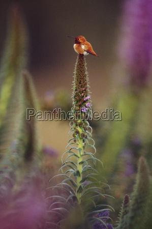 rufous hummingbird on flower stalk selaphorus