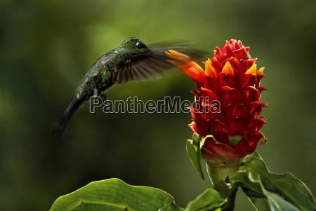 green crowned brilliant hummingbird heliodoxa jacula